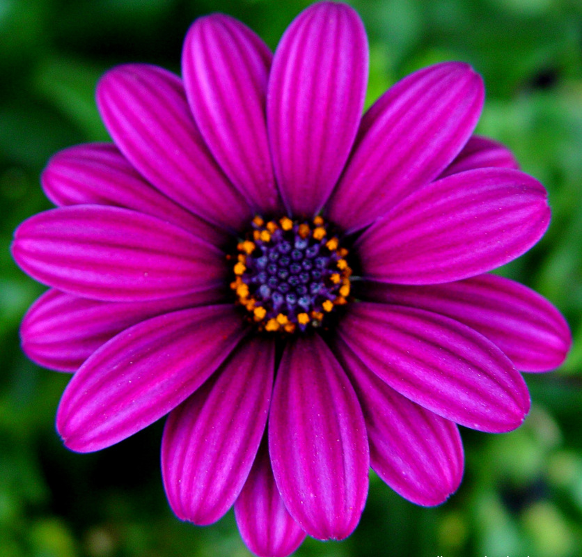 Magenta Flower Wallpaper on orchid background wallpaper